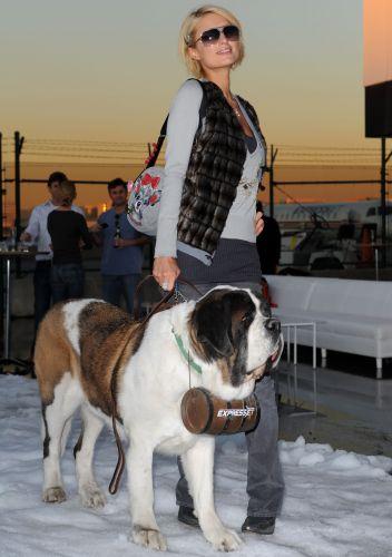 Paris Hilton posa com um cão da raça São Bernardo no Park City, Utah, em Sundance (16/1/2009)